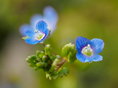 Overlooked beauties - Birdeye speedwell (Veronica persica) (Karsten Gieselmann) Tags: blue color green spring dof bokeh olympus wildflowers grn blau farbe blten schrfentiefe veronicapersica frhjahr m43 wildblumen mft 60mmf28 focusstacking birdeyespeedwell persischerehrenpreis microfourthirds mzuiko em5markii kgiesel