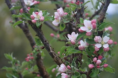 Apple Blossoms (gibsonsgolfer) Tags: backyard blossoms gibsons apples sunshinecoast