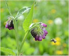 im Anflug.... (mayflower31) Tags: flower spring blossom wiese blume blte insekt frhling beinwell