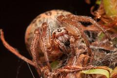 Larinioides cornutus (Hyönteismies) Tags: larinioidescornutus ruokohämähäkki