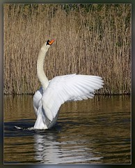 The King (Harald52) Tags: tiere natur vgel teich schwan