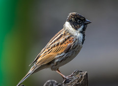 Reed Bunting (worlknut) Tags: reed canon flash 7d mk2 pennington bunting