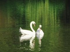 Swans (Darek Drapala) Tags: park reflection green bird nature water birds swan poland polska panasonic reflects panasonicg5