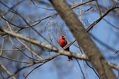 Which Way Did He Go? (Tim Stinger) Tags: birds animals fly flying tim illinois cardinal wildlife flight stinger soar cardinals circling burnidge