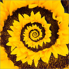 Sunflower Spiral (mikeyp2000) Tags: spiral sunflower droste