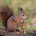 Red Squirrel 2016-03-10-0236