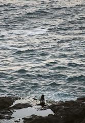 (felix.h) Tags: sea newzealand nature water animal canon eos coast pacific wildlife shoreline pacificocean seal shore otago dunedin coastline otagopeninsula 400d canoneos400d digitalrebelxti eoskissdigitalx alongshore tokina5013528 tokina50135mm28