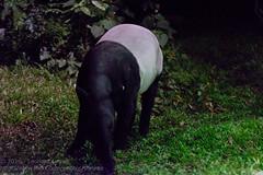 Malayan tapir (Stinkee Beek) Tags: nightsafari