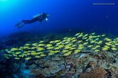 Yellow snappers and diver (kayak_no1) Tags: uw nikon underwater sigma wideangle diving fisheye wa scubadiving maldives 15mm deepsouth underwaterphotography yellowsnappers nauticamhousing d800e ysd1
