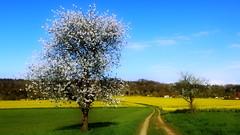 Landschaft mit Raps (_BSnake_) Tags: trees panorama field spring dorf bad felder himmel landschaft sonne raps baum frhling rapeseed rapsfeld badsoodenallendorf soodenallendorf
