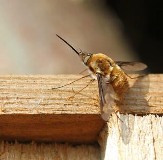 Sunbathing Bee-fly! [Explored!]