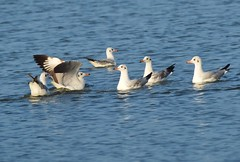Brown Headed Gull (clarencecooray) Tags: srilanla brownheadedgull vankale