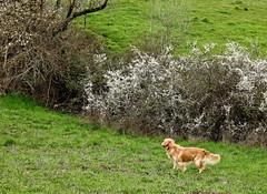 Gold-n Spring