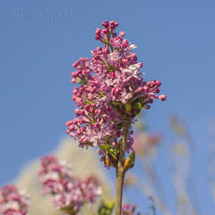 Spring Lilac (J.L. Ramsaur Photography) Tags: flowers flower macro nature closeup landscape outdoors photography photo spring nikon dof purple bokeh tennessee bluesky pic depthoffield lilac photograph fragrant thesouth purpleflower springtime fragrance cumberlandplateau cookeville macrophotography closeupphotography beautifulsky 2016 smellsgood putnamcounty deepbluesky cookevilletn springisintheair middletennessee cookevilletennessee ibeauty southernlandscape tennesseephotographer amazingsmell southernphotography screamofthephotographer jlrphotography photographyforgod springlilac d7200 engineerswithcameras godsartwork naturespaintbrush jlramsaurphotography nikond7200 cookevegas