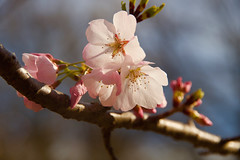 Happy in the Sunlight (SunnyDazzled) Tags: pink flowers blue trees sky sunlight macro nature happy spring day branch cherryblossoms
