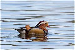 Mandarin Duck (M) (Smudge 9000) Tags: male spring norfolk aixgalericulata 2016 felbrig