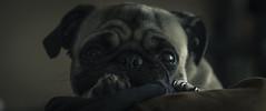 POLKITA (ivnpourtous) Tags: portrait pet portraits nikon retrato pug polka portraiture mascota cdmx