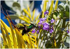 Antillean Crested Hummingbird/ Colibri hupp (beluga 7) Tags: flower bird fleur island hummingbird oiseau stlucia antilles saintelucie antilleancrestedhummingbird carrabean oiseaumouche 70300mmf4 canon7d colibrihupp