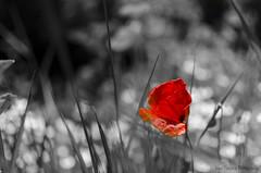 Amapola (Papavear Rhoeas) (Jose Txetxu) Tags: primavera spring rojo printemps amapola desaturado selectivo