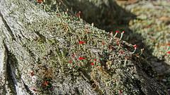 Cladonia floerkeana_2a (Tony Markham) Tags: native lichen fourmilecreek cladonia cladoniafloerkeana cladoniaceae fruticose fruticoselichen floerkeana sevencreektrack dharawalnationalpark nativefruticoselichen 10ffiretrail