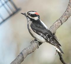 Wait your Turn, Mr.Downy (Omygodtom) Tags: wild portrait bird outdoors woodpecker downywoodpecker nikon dof natural bokeh animalplanet d7100 nikon70300mmvrlens
