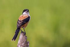 Long Tailed Shrike (sayem.ahmed49) Tags: nature birds canon bokeh wildlife bangladesh