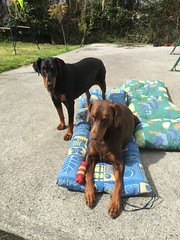 Red, Male Dobermann Pinscher Zeus with Black and Tan, Female Dobermann Pinscher Gabbana (firehouse.ie) Tags: boy red dog brown black male dogs girl female hell tan hound zeus german doberman dobie pinscher dobe gabbana dobermann dobermans dobes pinschers dobermanns