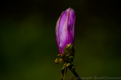 Magnolie (bpank2) Tags: blte magnolie sigma105mm nikond810