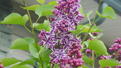 Two tone lilac April 22 2016 (BluebearsLair) Tags: two lilac tone bloomx