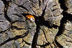 A Place to Hide (Vie Lipowski) Tags: nature bug insect wildlife beetle ladybird ladybug ladybeetle treestump woodcrack