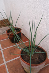 Spring onion (Carrascal Girl) Tags: garden gardening patio cebu onion cebucity mandaue springonion potgardening