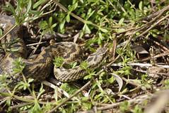 Adder (Vipera berus) (Sky and Yak) Tags: nature reptile snake hampshire serpent viper naturalworld adder vipera viperaberus berus reptilesandamphibians