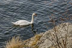 Swan in Stockholm, Sweden 12/4 2016. (photoola) Tags: sea animal swan sweden stockholm djurgrden djur svan waldemarsudde photoola