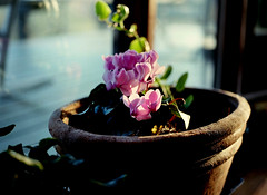 mamiya m645 (bluebird87) Tags: flowers house mamiya film kodak epson 100 v600 80mm ektar c41 m645 dx0