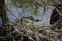_DSC0456 (chris30300) Tags: france heron de pont parc oiseau camargue gau saintesmariesdelamer flamant provencealpesctedazur ornithologique