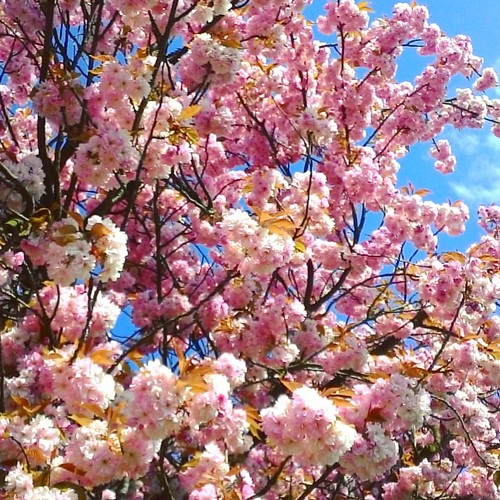 The #kiss under the #cherryblossom tree 💜💜💜 Today it is a #dayoflove in our country. You need to be kissed under the tree in blossom, to not get dry 😉 I wish to all wonderful Day of Love 💖 #first