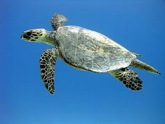 Karetschildpad - Hawksbill sea turtle - Eretmochelys imbricata (By Yves) Tags: red sea turtle egypt diving hurghada
