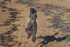 Happiness is a run along the beach! DSC_3926 (BlueberryAsh) Tags: dog pet holiday beach sand nikon run poodle ash phillipisland standardpoodle nikon24120 nikond750