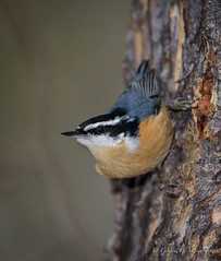 Red-brea.ted Nuthatch (Turk Images) Tags: winter birds finches alberta sittacanadensis hinton sittidae mixedwoods redbreatednuthatch rbnu switzerlake borealwoods