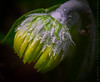 Week 18 - Buds (kimedwards1123) Tags: flower home nature yellow yard dof depthoffield bud 2061 photochallenge d7200
