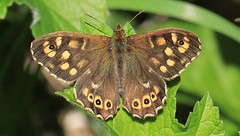 Speckled Wood 280416 (2) (Richard Collier - Wildlife and Travel Photography) Tags: wildlife butterflies insects naturalhistory british speckledwood britishinsect