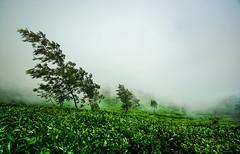 fog in tea estates of Munnar ([s e l v i n]) Tags: india green tea kerala greenery munnar teaestate greenearth keralatourism keralatravel picturesofkerala selvin