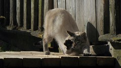 Cat (mih.mih4) Tags: cats nature animal cat canon countryside spring kitten chat village kitty gato neko katze  gatto kater  katt kato felis kissa    feles