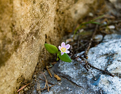 Coopers flower (JustinMullenPhotography) Tags: pink flowers wild plants brown plant flower macro green nature beautiful rock contrast river outdoors washington rocks natural dirt cooper serene wilderness coopers