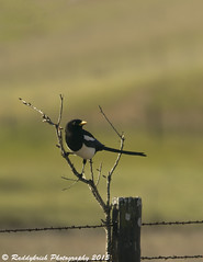Yellow-billed Magpie (Raddykrish Photography) Tags: bird magpie lifer yellowbilledmagpie fremo vargasplateau
