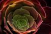 Cradle Me (Aerokev) Tags: macro canon melbourne victoria crassulaceae royalbotanicalgardens irishrose aeoniumarboreum eos5d3 treeaeonium treehouseleek aarboreum
