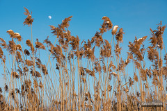 Moon Grass (kevin-palmer) Tags: statepark blue winter light sunset sky sunlight moon snow cold grass reeds gold golden evening illinois january clear 2016 kevinpalmer bannermarsh statewildlifearea tamron2470mmf28 nikond750