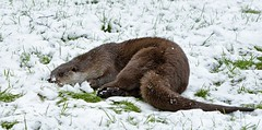 Otter in the snow. (Chris Sweet 85) Tags: nature nikon otter bwc earthnaturelife nikond7100