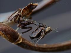 Decimiana bolivari, L1 (_papilio) Tags: macro mantis sony invertebrate papilio mantid arthropod a7ii zeissmakroplanart100mmf2 decimianabolivari