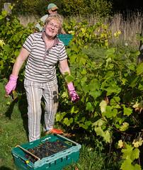 SCE_1588 (staneastwood) Tags: food wales vineyard wine outdoor vine foliage grapes bunch pembrokeshire pickers staneastwood stanleyeastwood cumderi